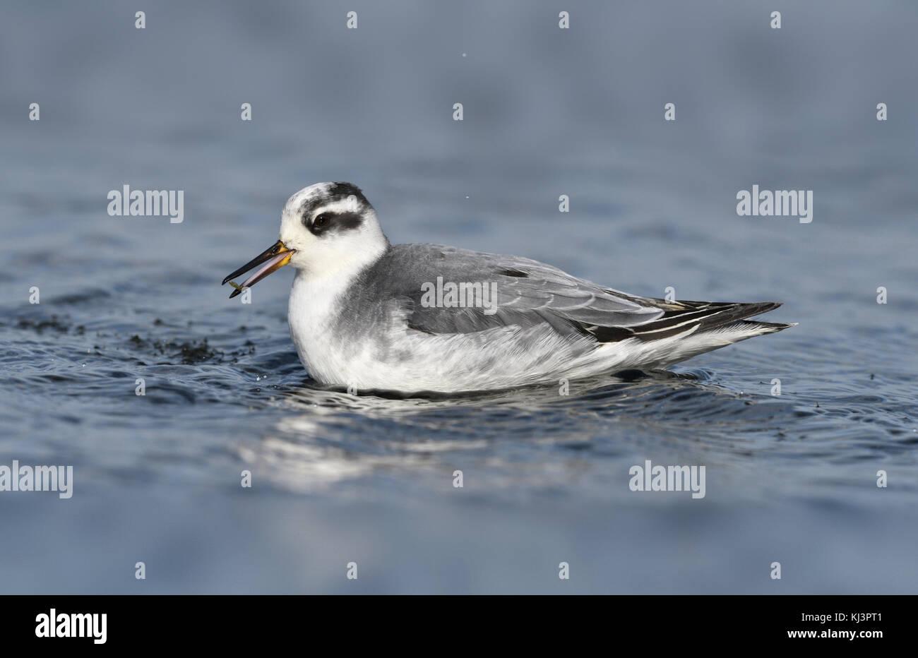 Grey Phalarope - Phalropus lobatus Stock Photo
