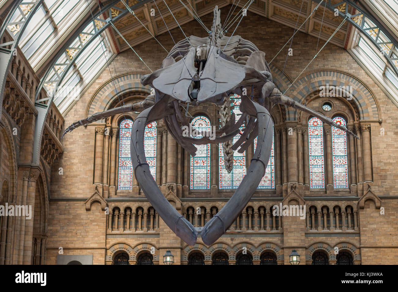The Natural History Museum, London-September 6,2017: The blue whale skeleton located in the main hall of The Natural - Stock Image