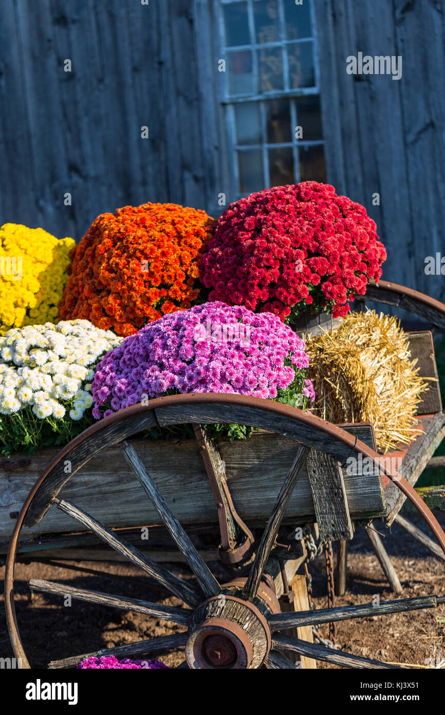 Colorful Fall Mums On Display In An Old Farm Wagon Stock Photo Alamy