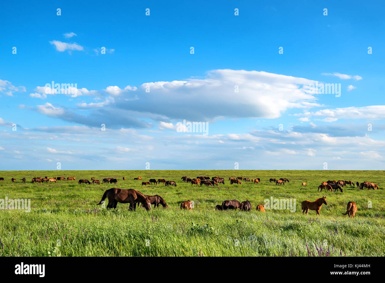 Wild horses grazing on summer meadow - Stock Image