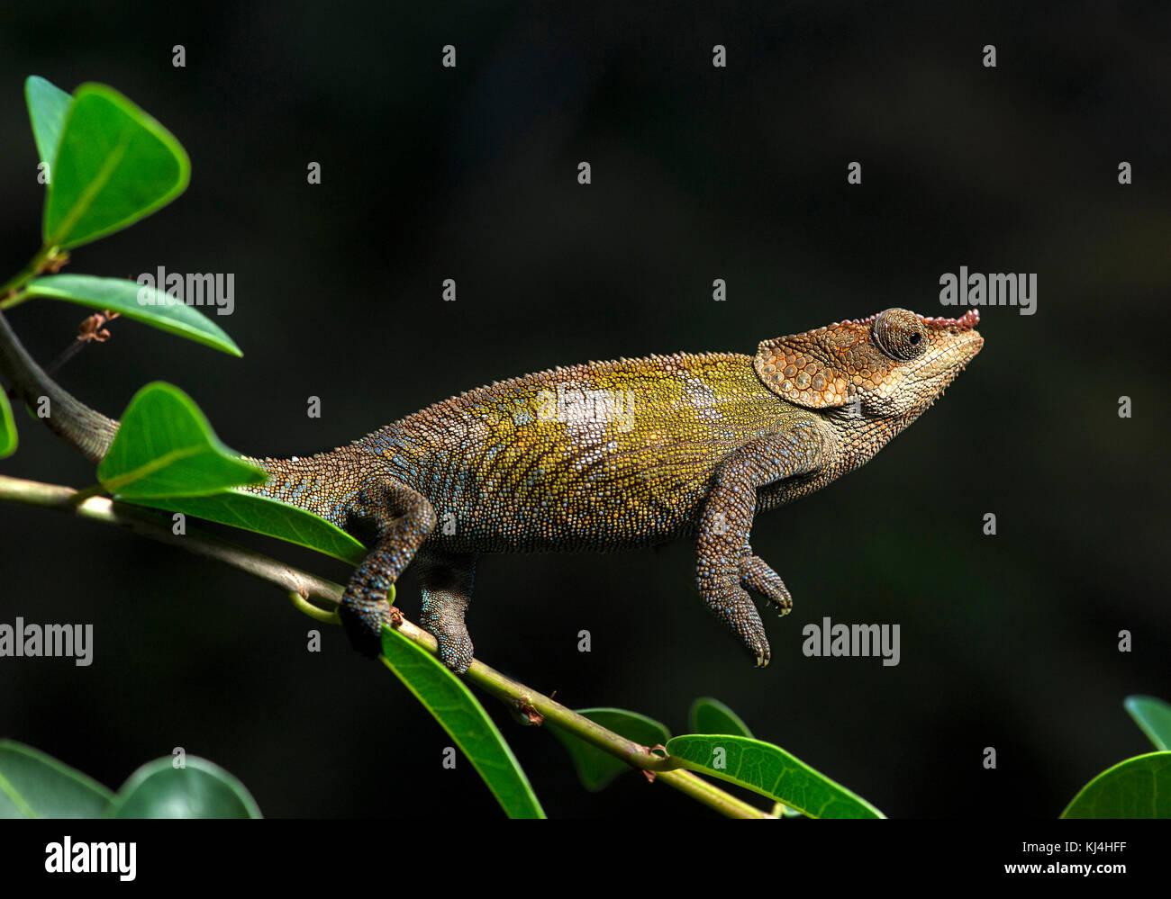 Cryptic Chameleon (Calumma crypticus), (Chameleonidae), endemic to Madagascar, Anjozorobe National Park, Madagascar - Stock Image
