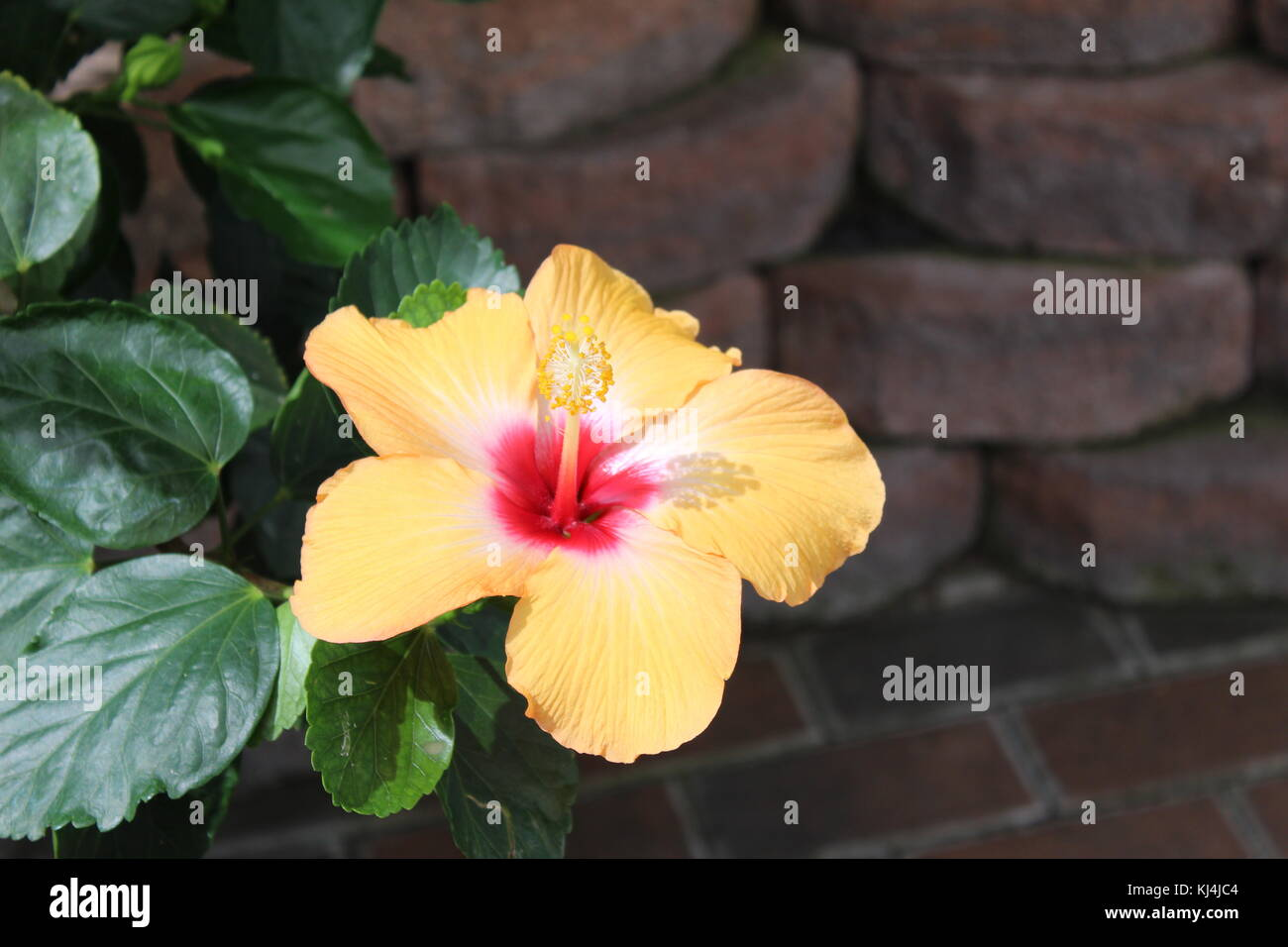 Life-changing Beautiful Yellow Flower, attractive to butterflies with a tall stigma and five pedals. Reminds you - Stock Image
