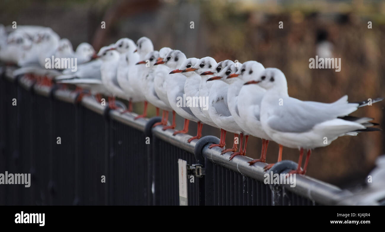 A flock of Black Headed Gulls perched on a fence - Stock Image