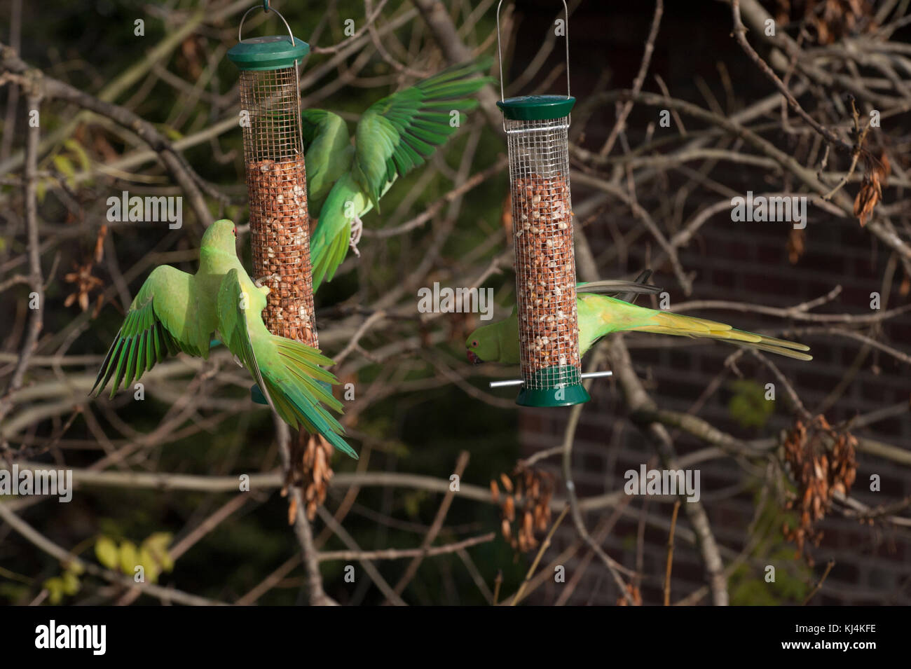 Ring-necked parakeets or Rose-ringed parakeets, (Psittacula krameri),  feeding from bird feeders, London, United Stock Photo