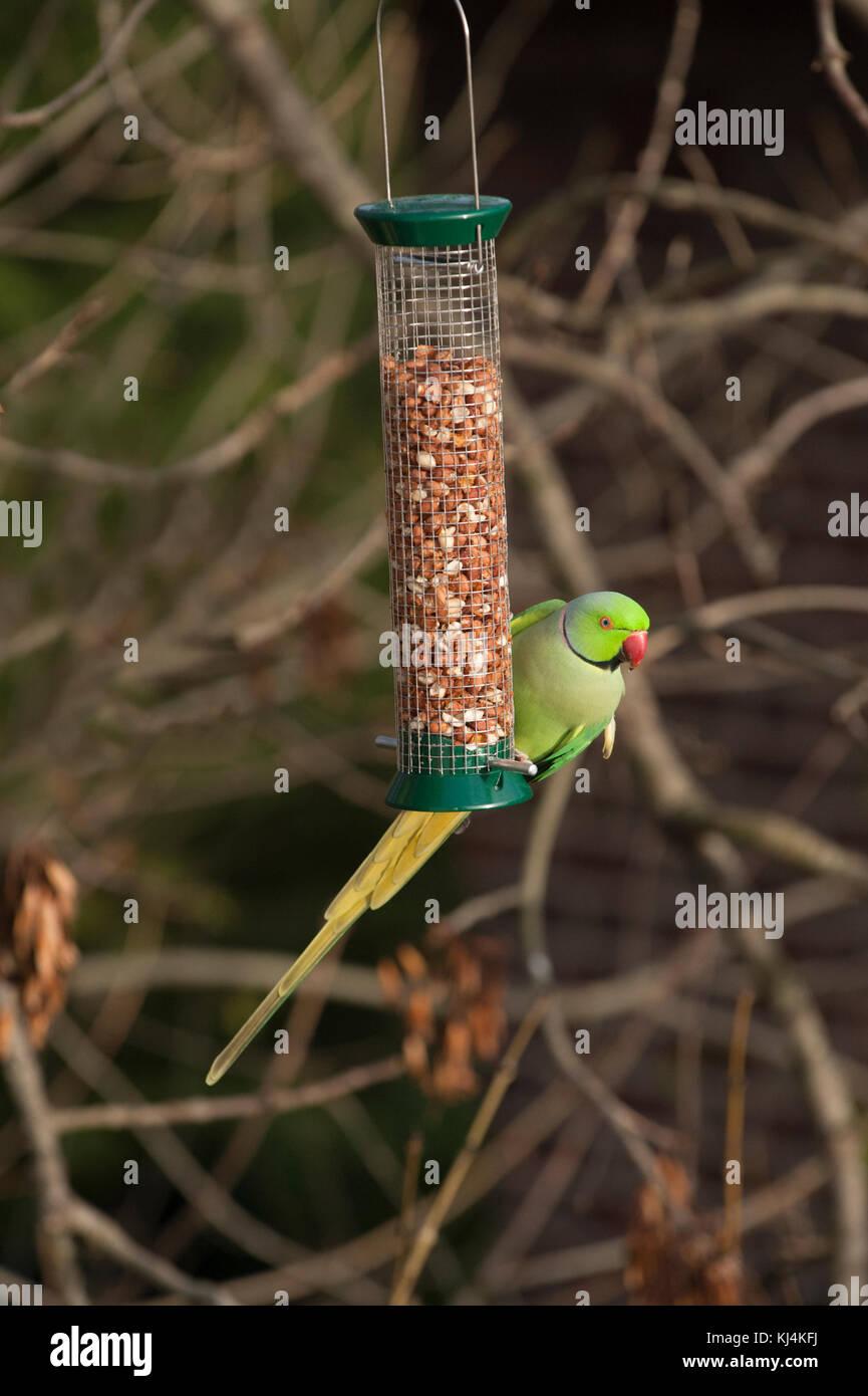 Ring necked parakeet, (Psittacula krameri), or Rose ringed parakeet, London, United Kingdom - Stock Image