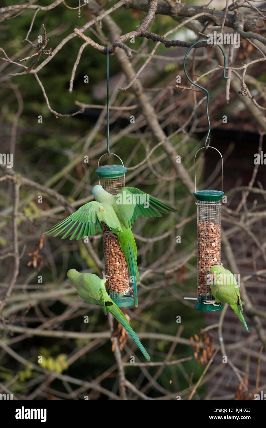 Ring-necked parakeets or Rose-ringed parakeets, (Psittacula krameri),  feeding from bird feeders, London, United Stock Photo