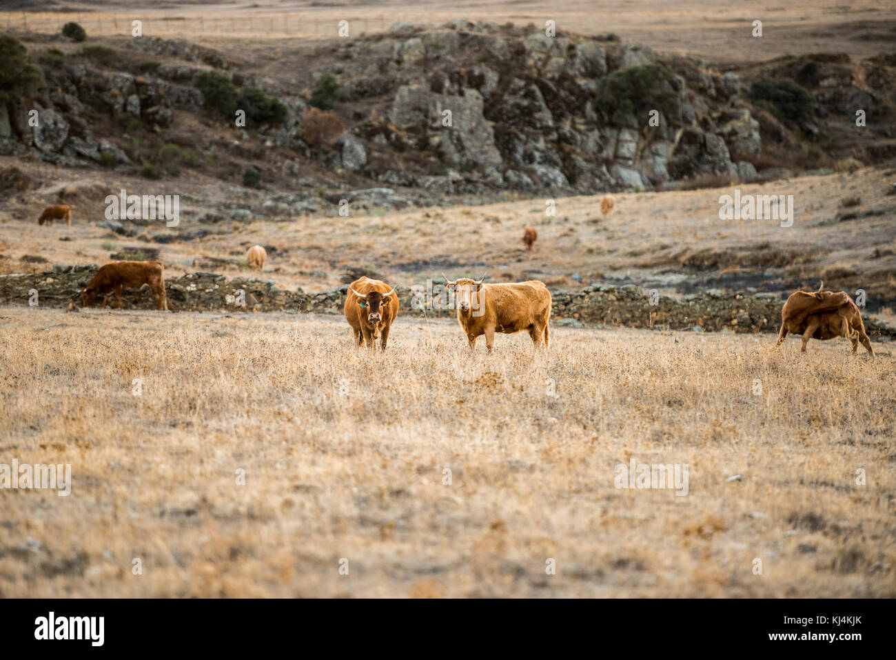 A group of four cows graze in a desert landscape of the steppe during a long period of drought. Cáceres, Extremadura, - Stock Image