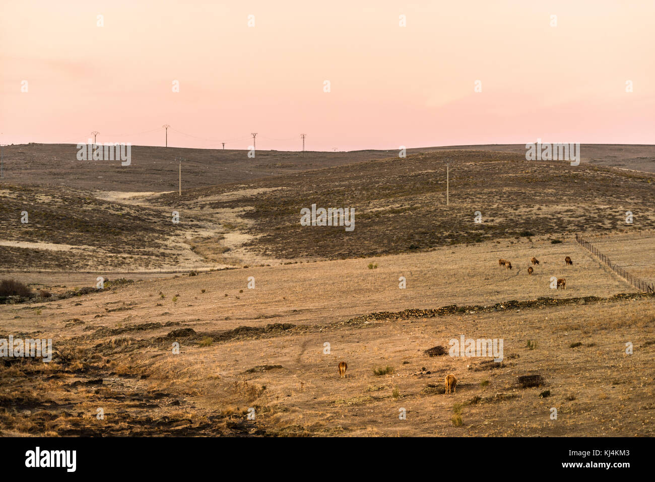 Dusk in a desert landscape of the steppe during a long period of drought. Cows on the background. Cáceres, - Stock Image