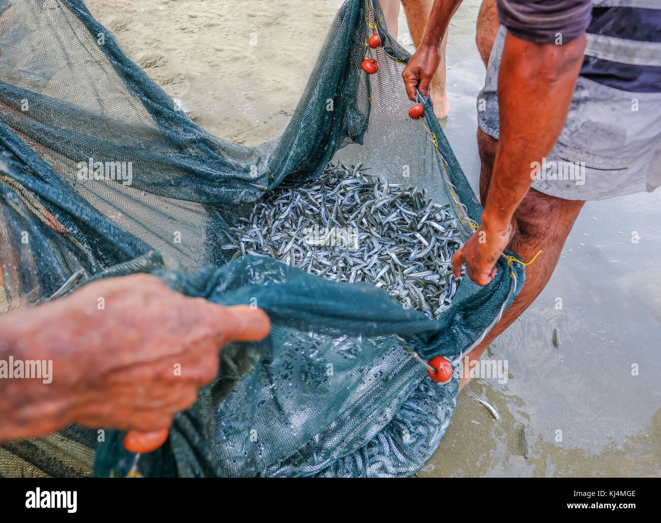 Shoal of whitebait fish caught in a net at the edge of the sea on the beach. Close up shot with strong hands holding - Stock Image