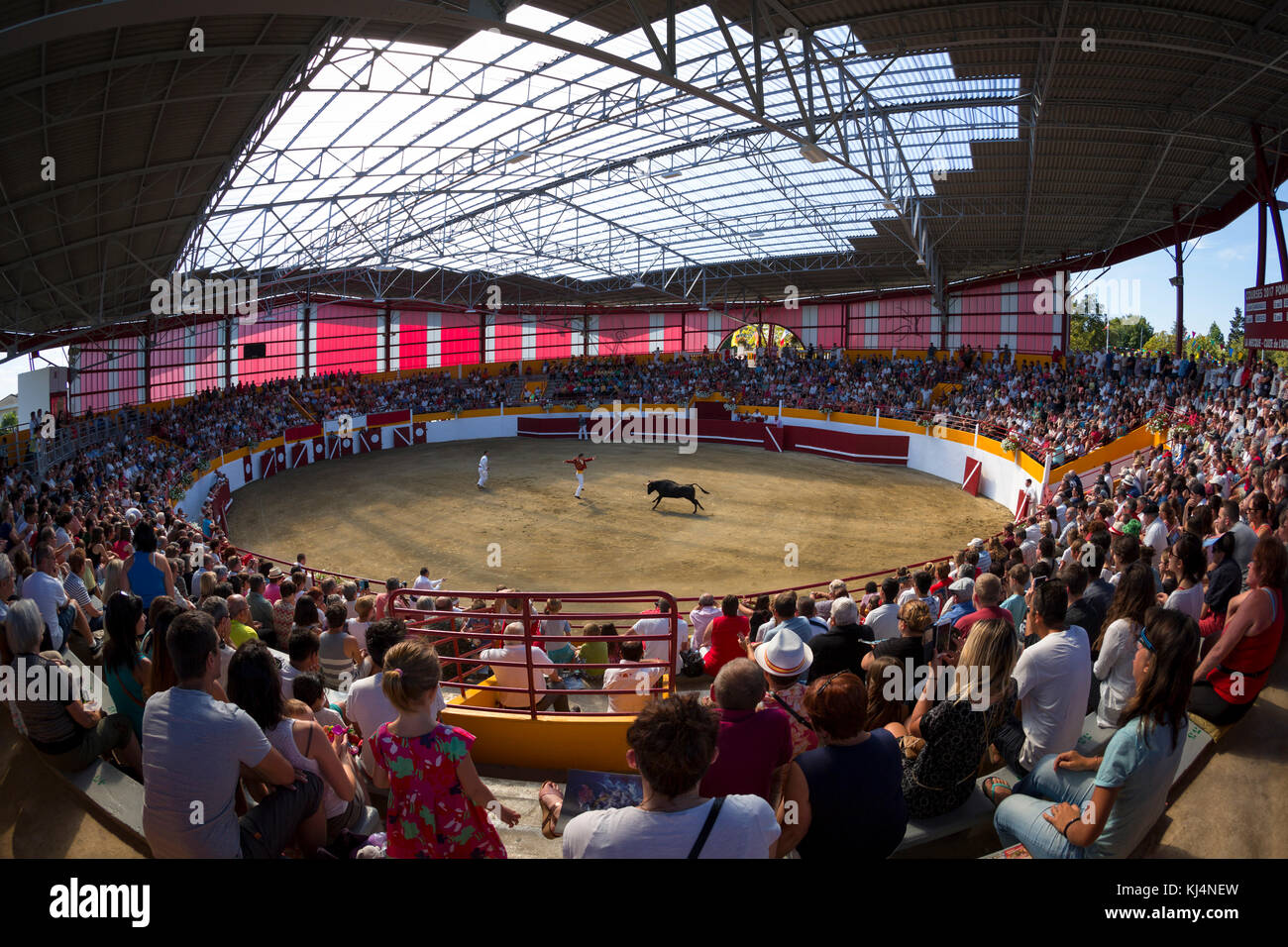 The Landes female cow race (Course Landaise) in the recently renovated Pomarez arena (Landes (40), Nouvelle-Aquitaine, Stock Photo
