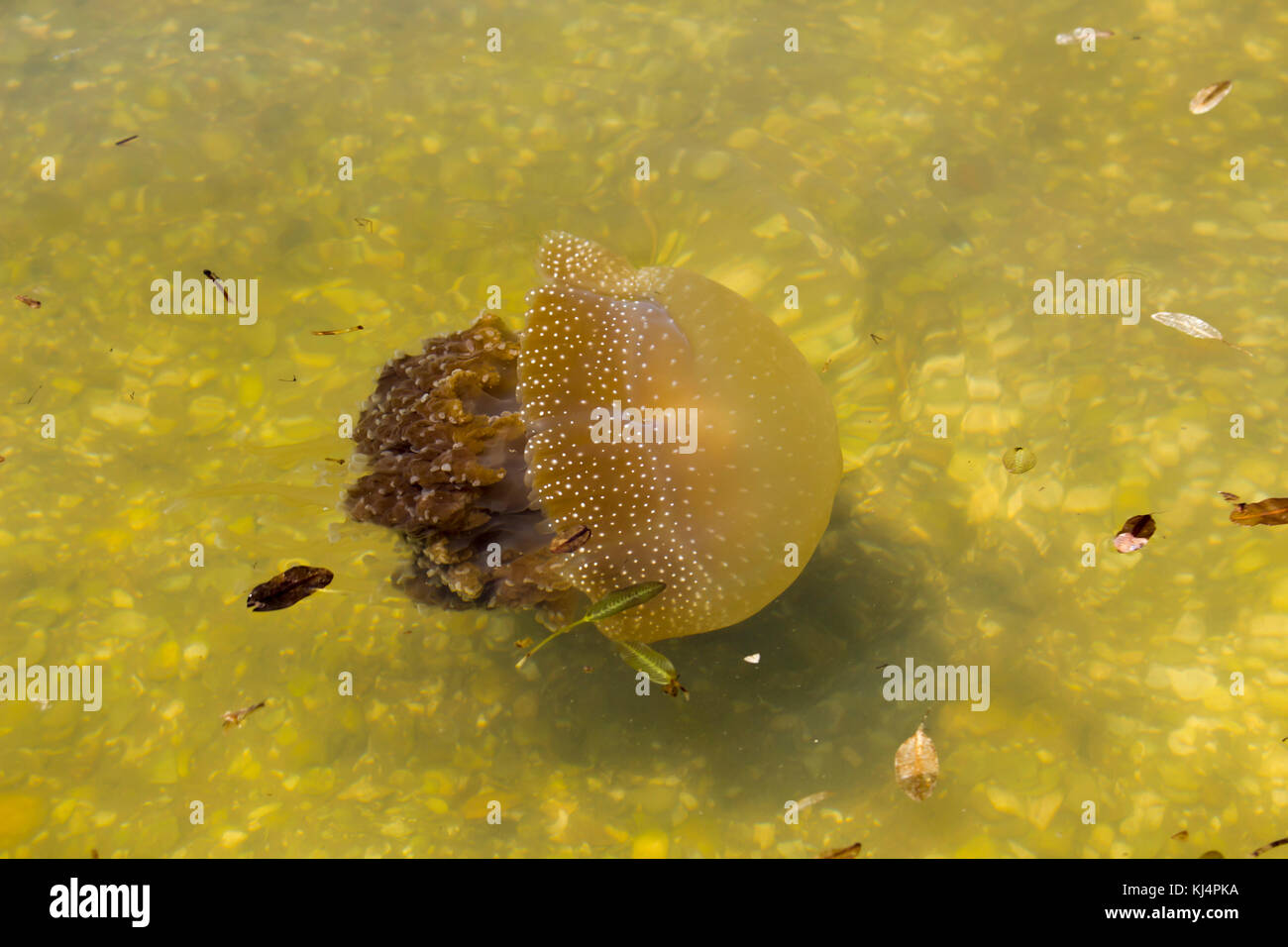 Brown Jellyfish (Phyllorhiza punctata) with  dinoflagellate alga underneath  swimming in  Swan River Perth  Western - Stock Image