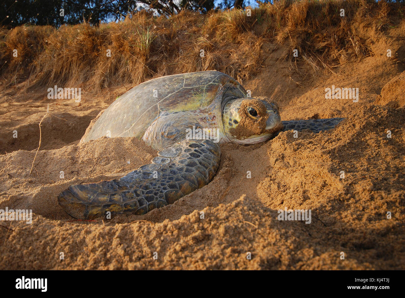 Green Turtle (Chelonia mydas)  Moore Park Beach, Queensland, Australia. Female turtles come ashore during the nesting - Stock Image