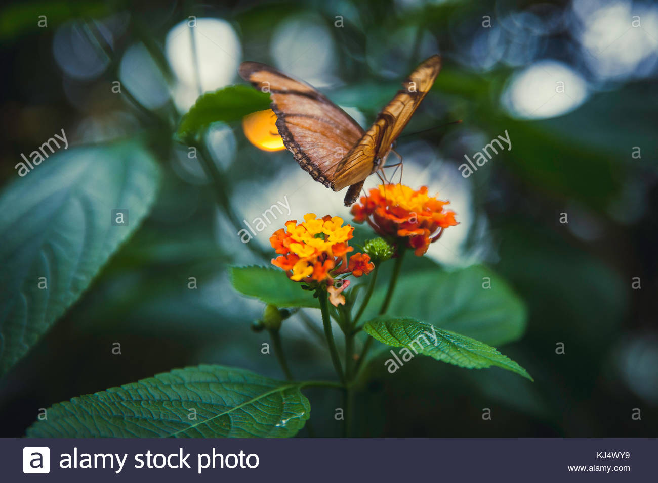 yellow sage plant with butterfly - Stock Image
