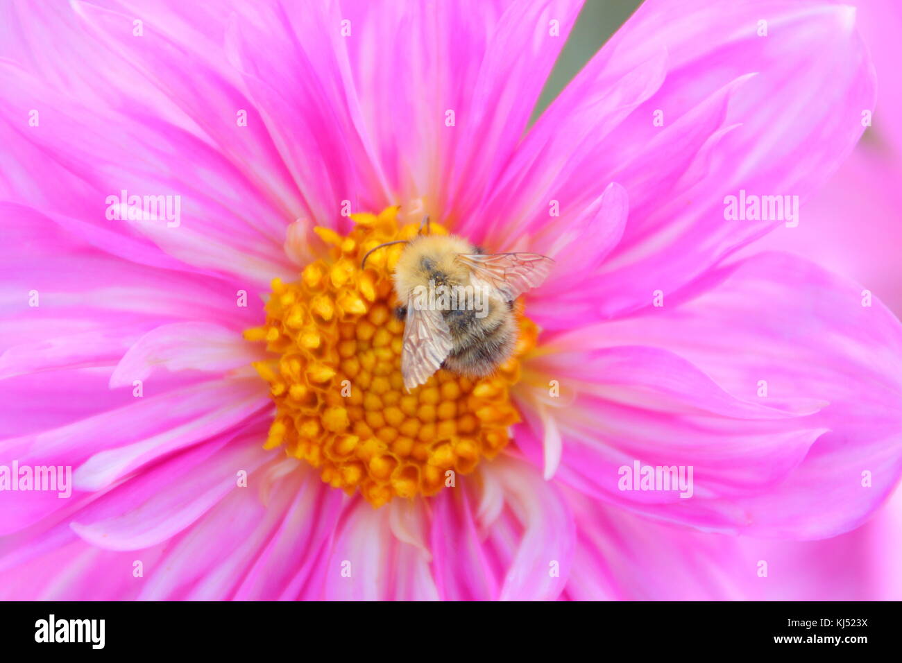 Common Carder bee (Bombus pascuorum) pollinating Dahlia 'Duddon Catherine', blossom in late summer, Leeds, - Stock Image