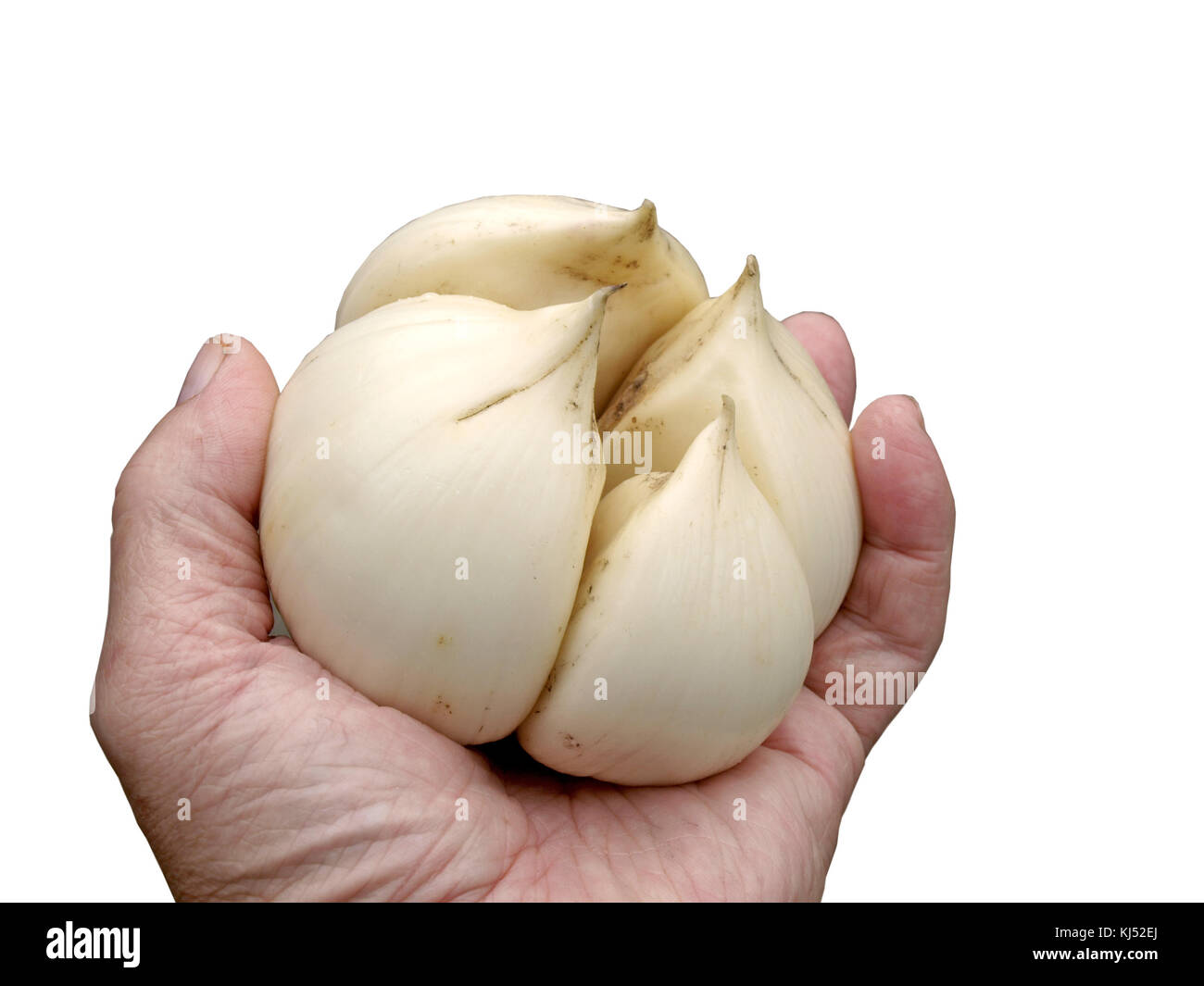 Hand holding big giant or elephant garlic close up isolated on white. - Stock Image