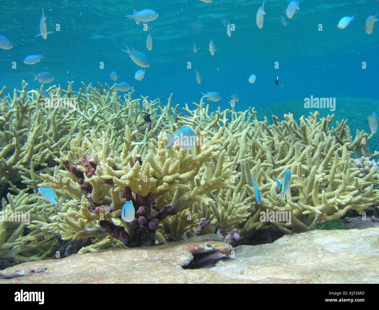 Chromis reef fish and staghorn coral underwater scenic - Stock Image