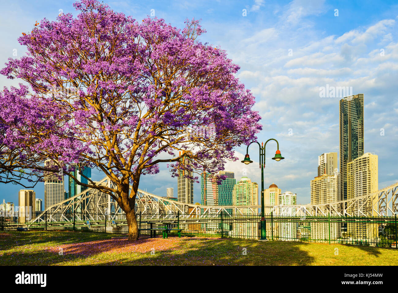 Jacaranda blooming at Wilsons Outlook Reserve, Brisbane, Queensland, Australia - Stock Image