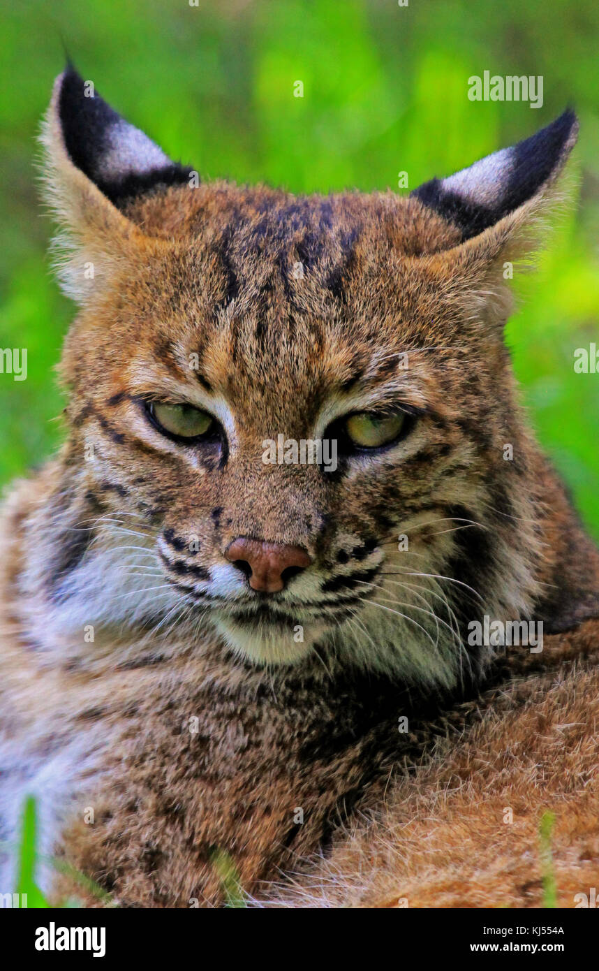 A potrait of a Nort American Bobcat Stock Photo