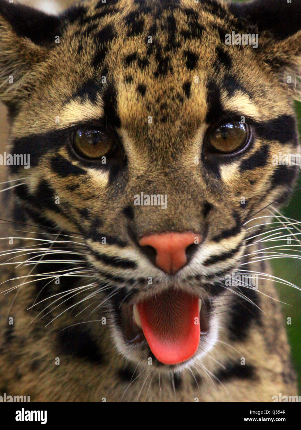 A tounge wagging portrait of a Clouded Leopard. - Stock Image