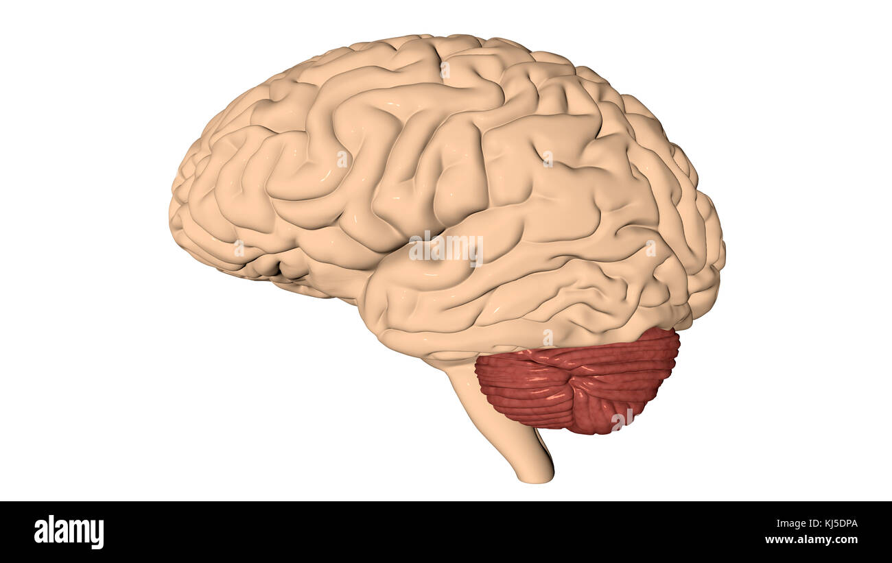 Human brain 3D render Stock Photo: 166077698 - Alamy