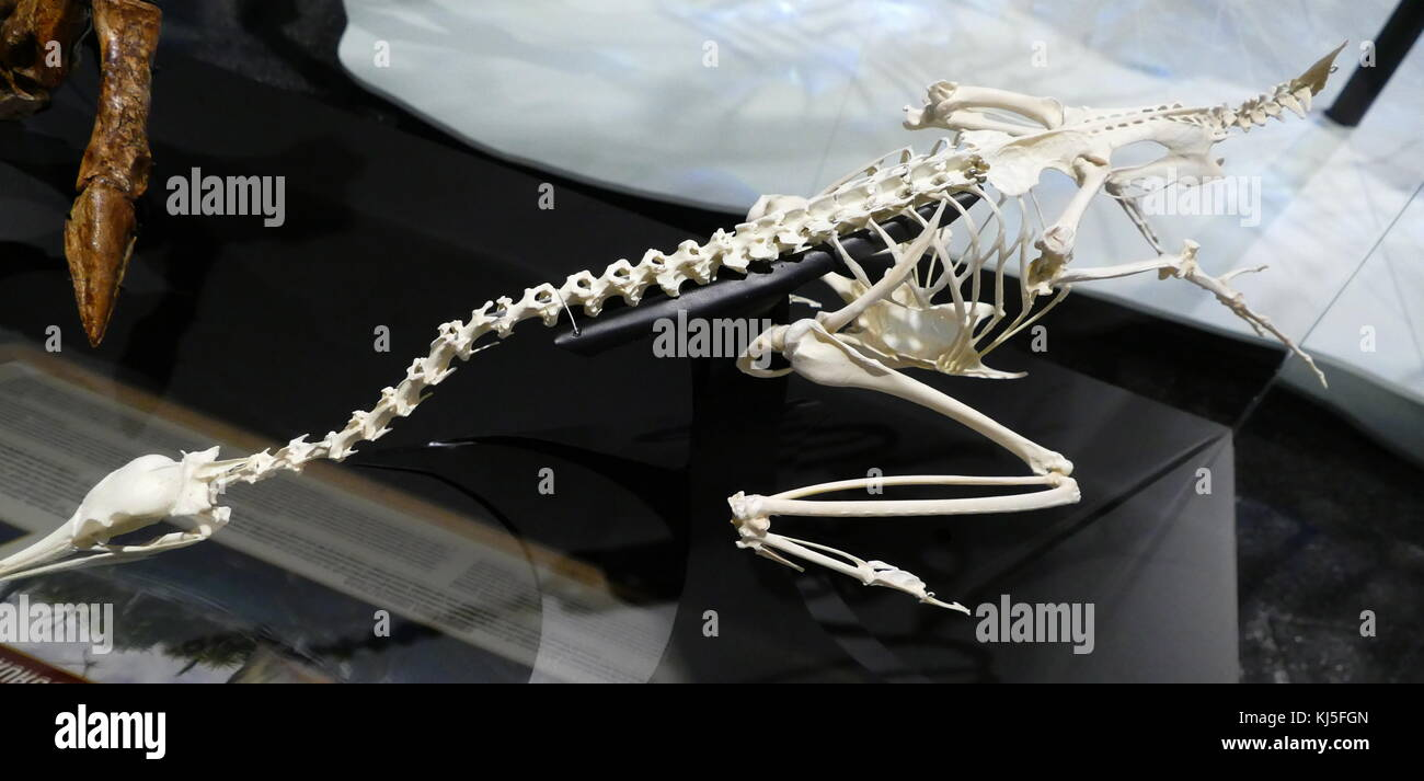Skeleton of a Spinosaurus, a genus of theropod dinosaur. - Stock Image