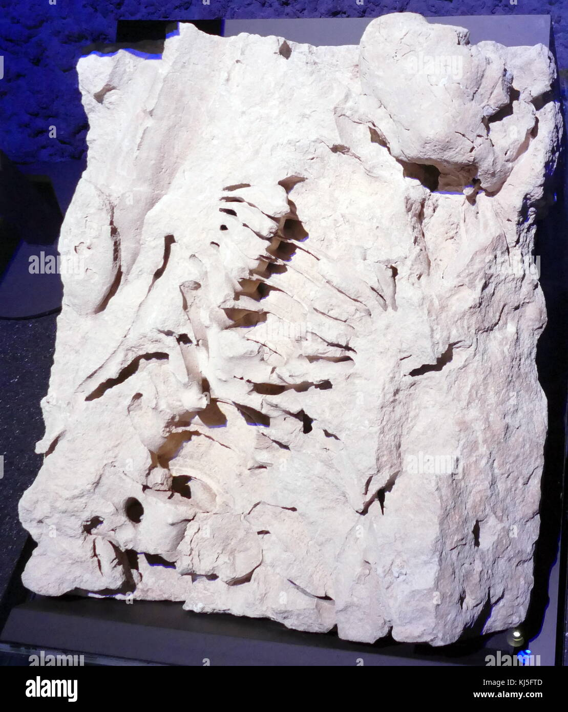 Fragments of the spinal column and vertebrae from the Livyatan, an extinct genus of physeteroid whale, similar in - Stock Image