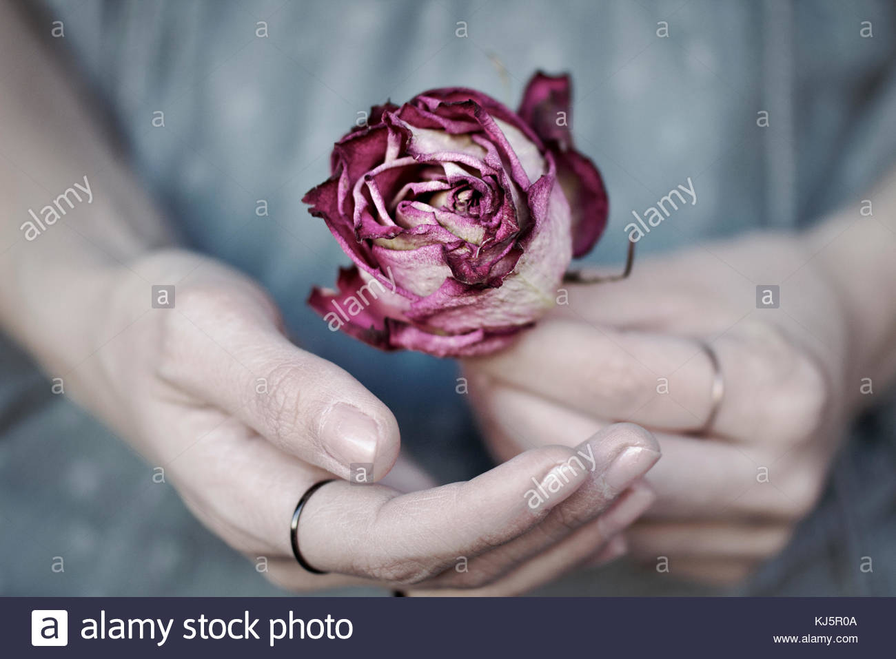 Hands holing a rose - Stock Image