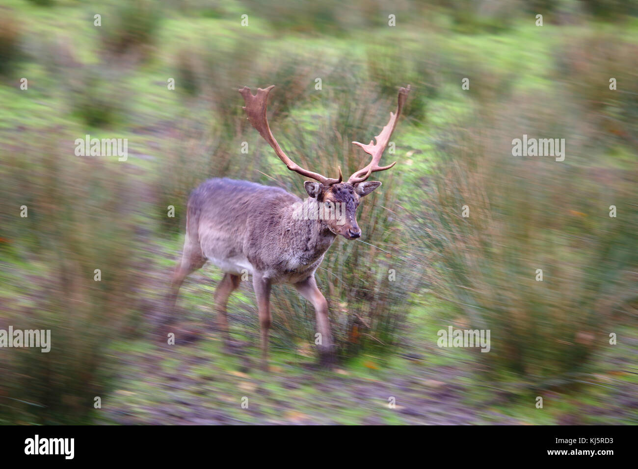 Male fallow deer running past with motion blur towards the edges of the image - Stock Image