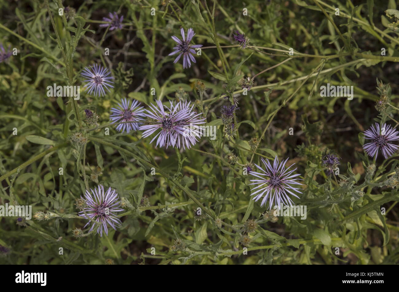 An endemic blue knapweed-relative, Volutaria maroccana, Morocco, - Stock Image