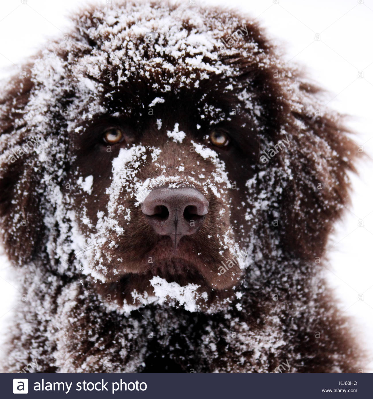 Snowy dog Stock Photo