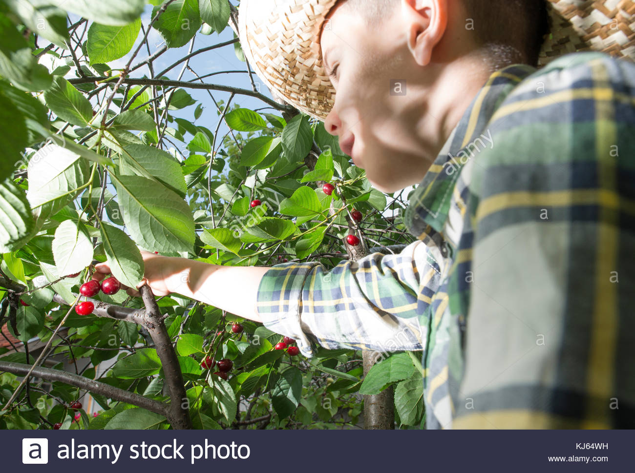 Happy young boy picking cherry from the tree - Stock Image