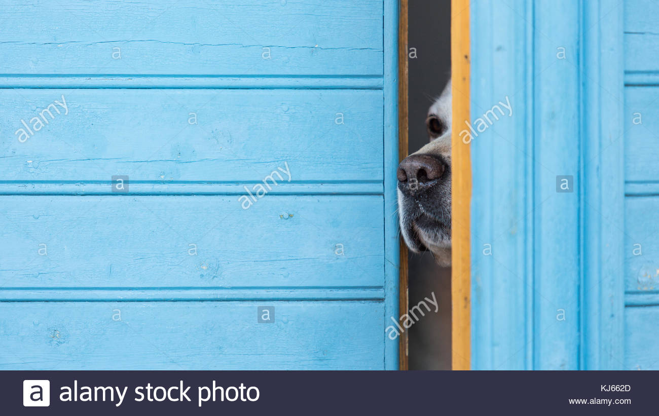 Dog sniffing curiously out - Stock Image
