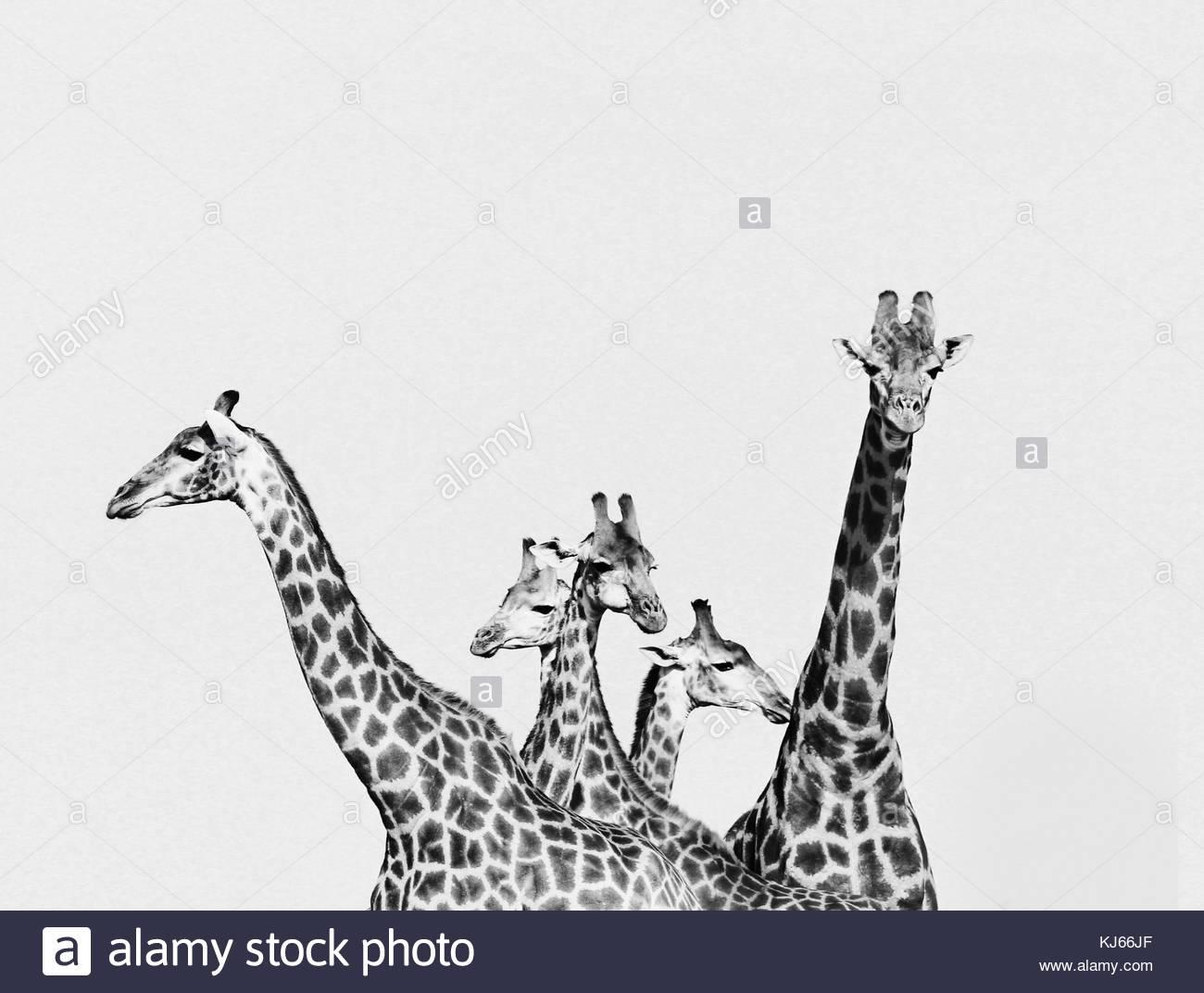 Tower of giraffes - Stock Image