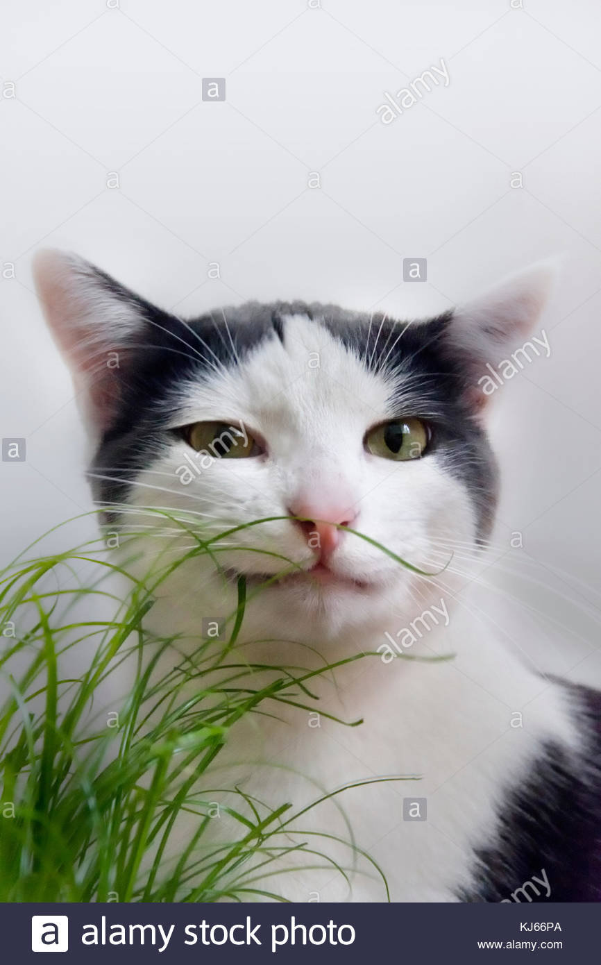 Cat sniffing grass - Stock Image