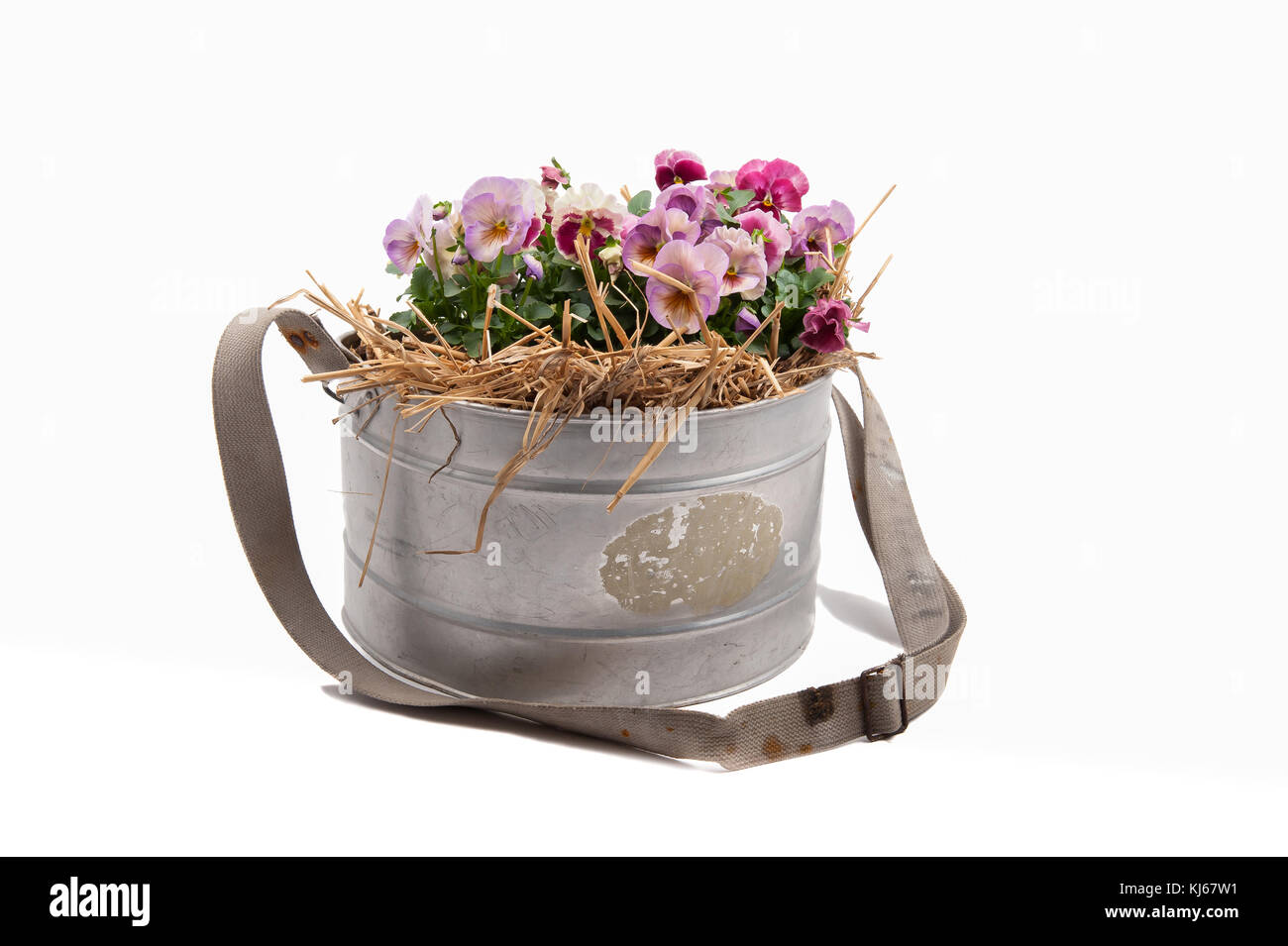 Zinc galvanized basket with pansies and straw isolated on white - Stock Image