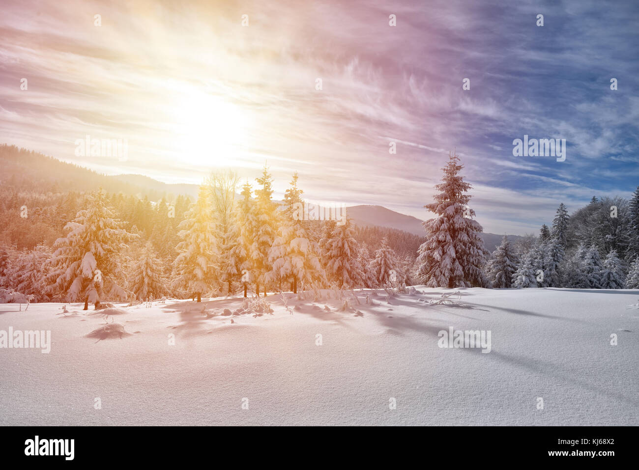 Majestic white spruces glowing by sunlight. Picturesque and gorgeous wintry scene. - Stock Image