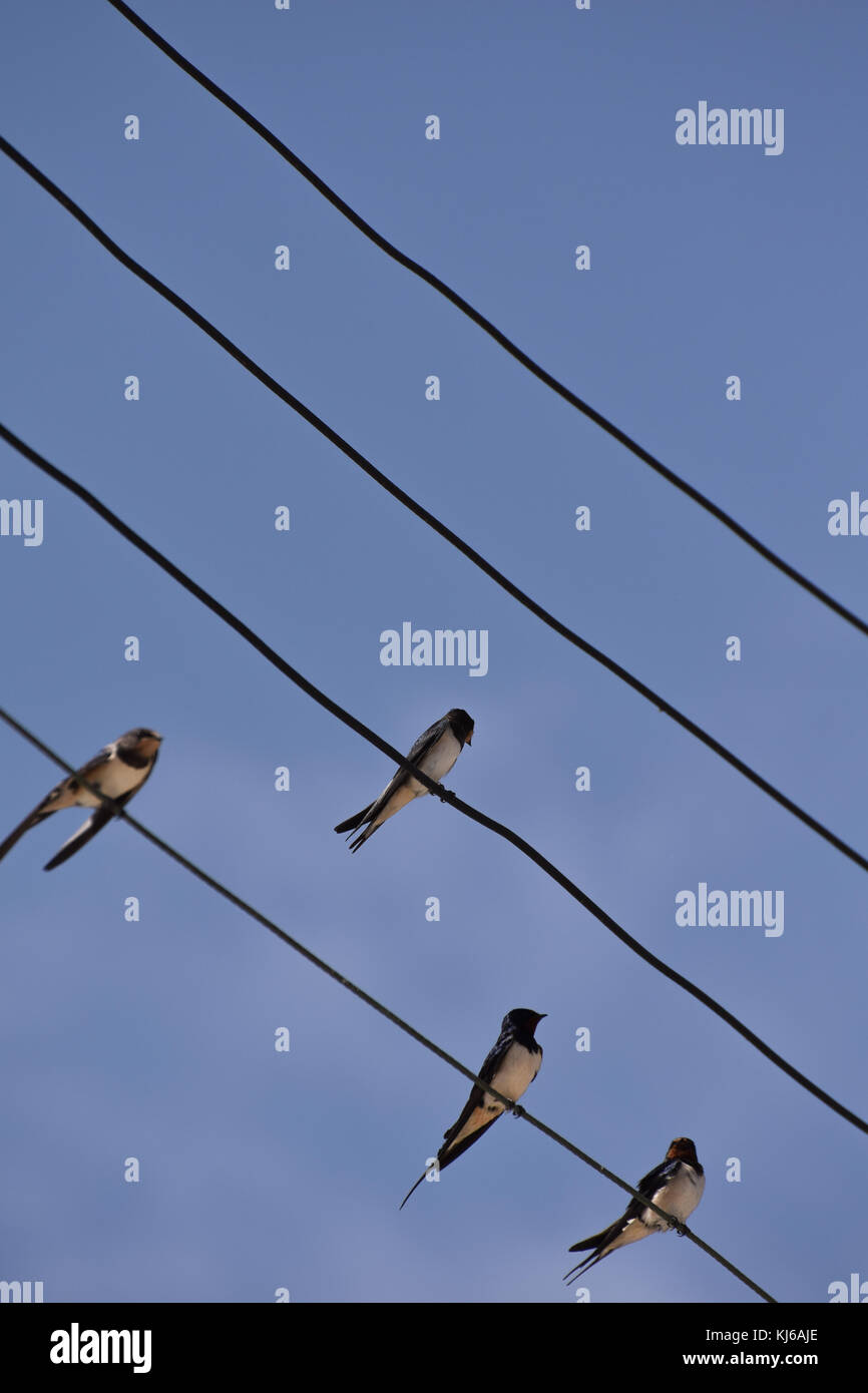 Barn Swallow On Telegraph Wire Stock Photos & Barn Swallow On ...
