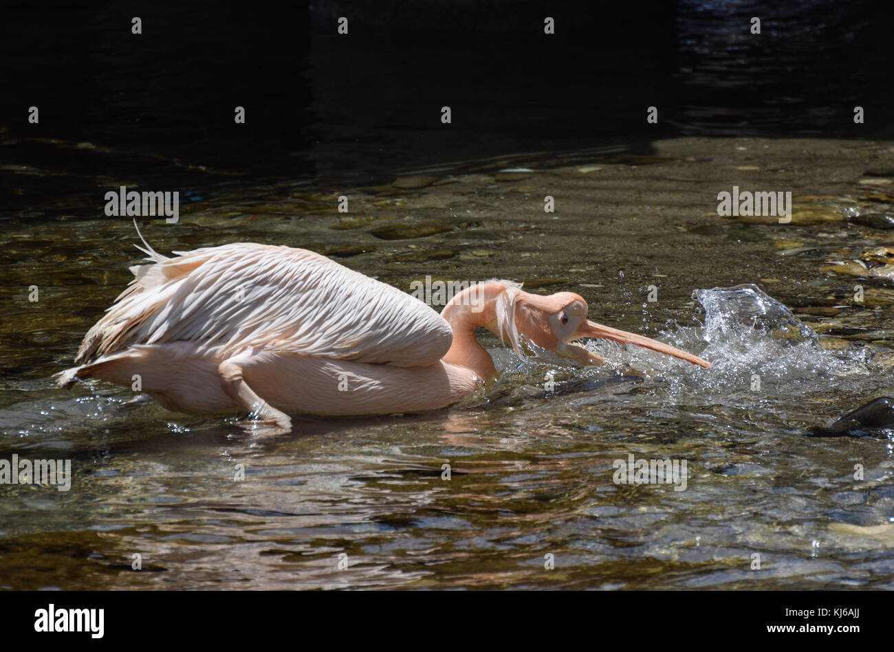 A Pelican drinking from the sea in Cyprus Stock Photo