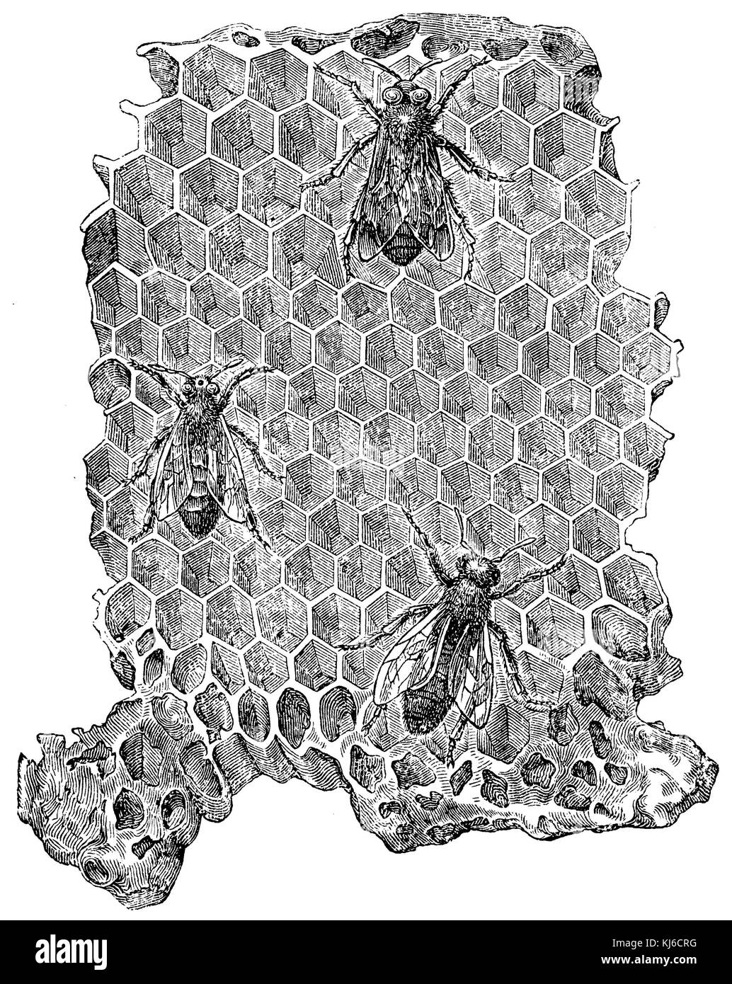Honeybee: drone cells with a drone, center worker cells with worker bee, queen with two weighing Weisel (Honigbiene: Stock Photo