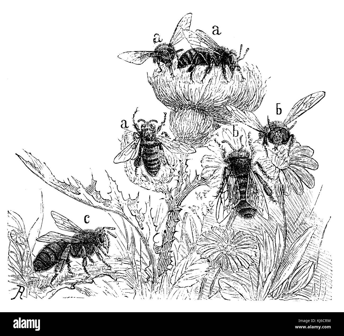Workers (a), drones (b), Queen (c): Honey bee (Honigbiene: Arbeiterinnen (a), Drohnen (b), Königin (c)) - Stock Image