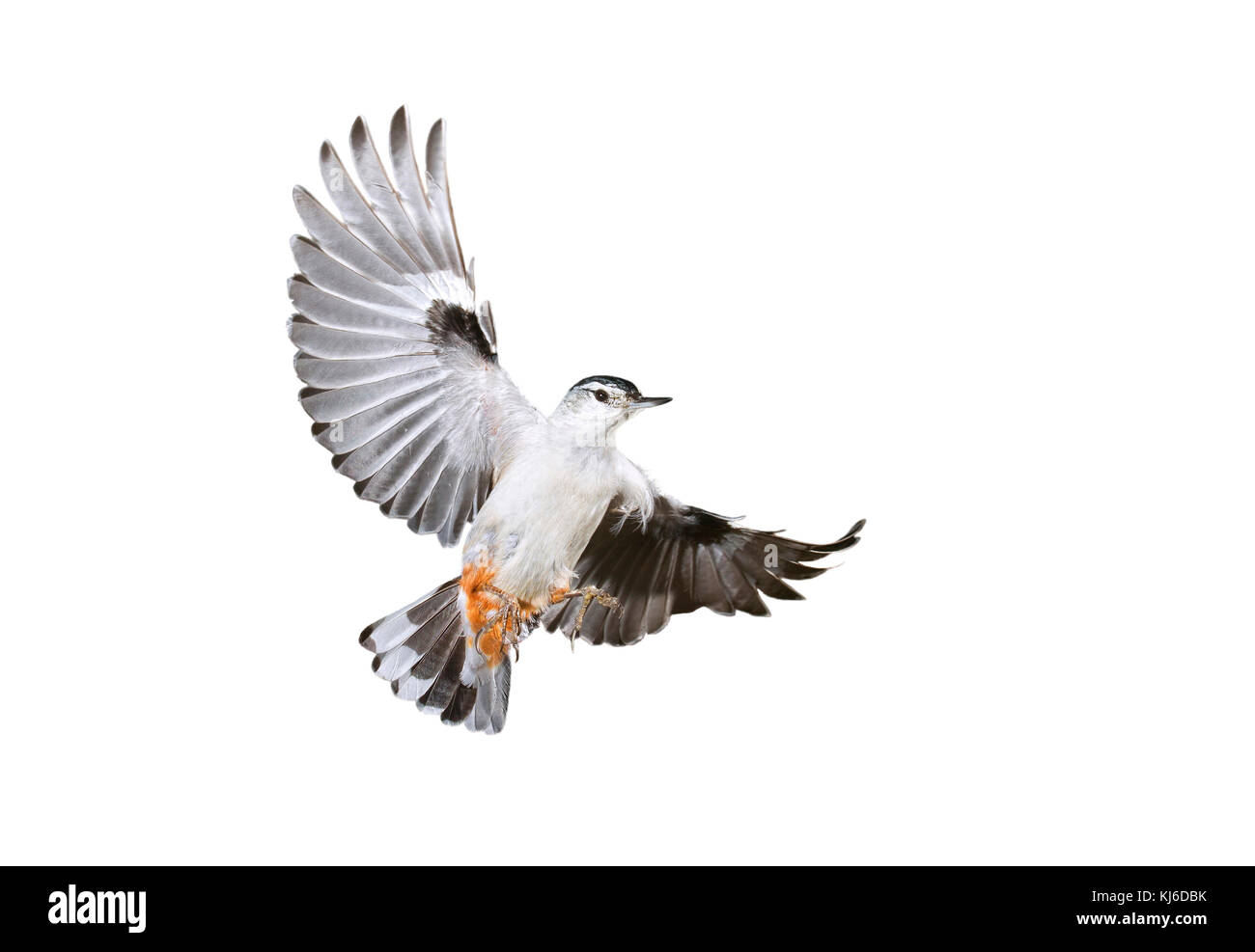 White-breasted nuthatch (Sitta carolinensis) flying, isolated on white background. - Stock Image