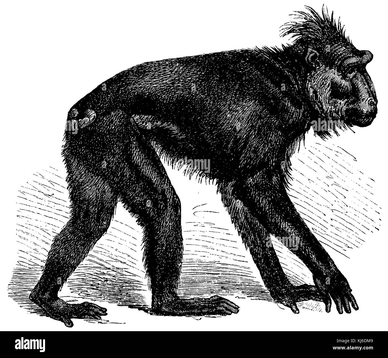 Celebes crested macaque, crested black macaque, Sulawesi crested macaque, or the black ape (Schopfaffe oder Schopfmakak - Stock Image