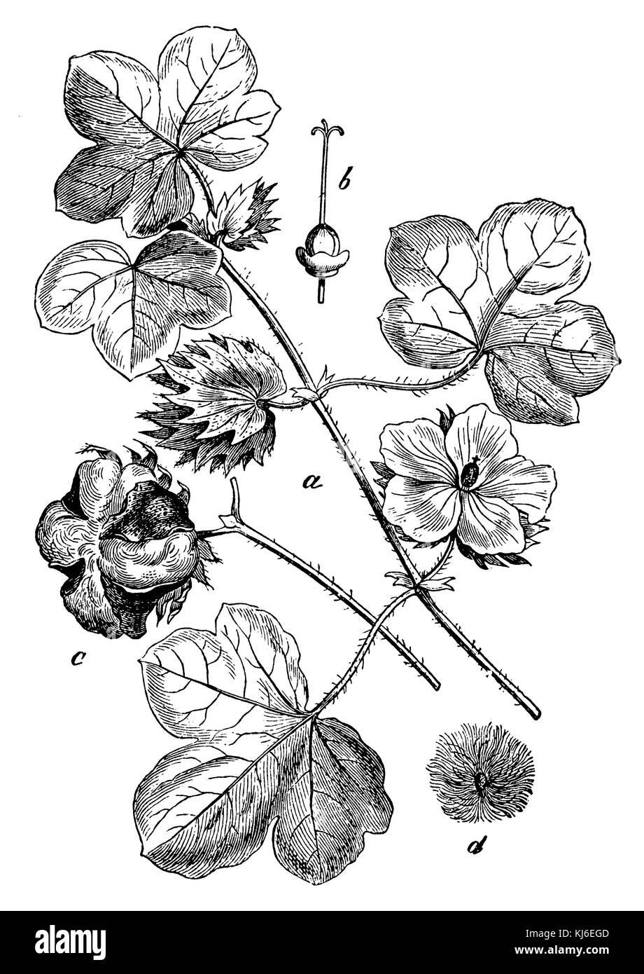 Cotton (Baumwolle <Gossypium herbaceum> a Blütenzweig, b Stempel mit dem Fruchtknoten, c aufgesprungene - Stock Image