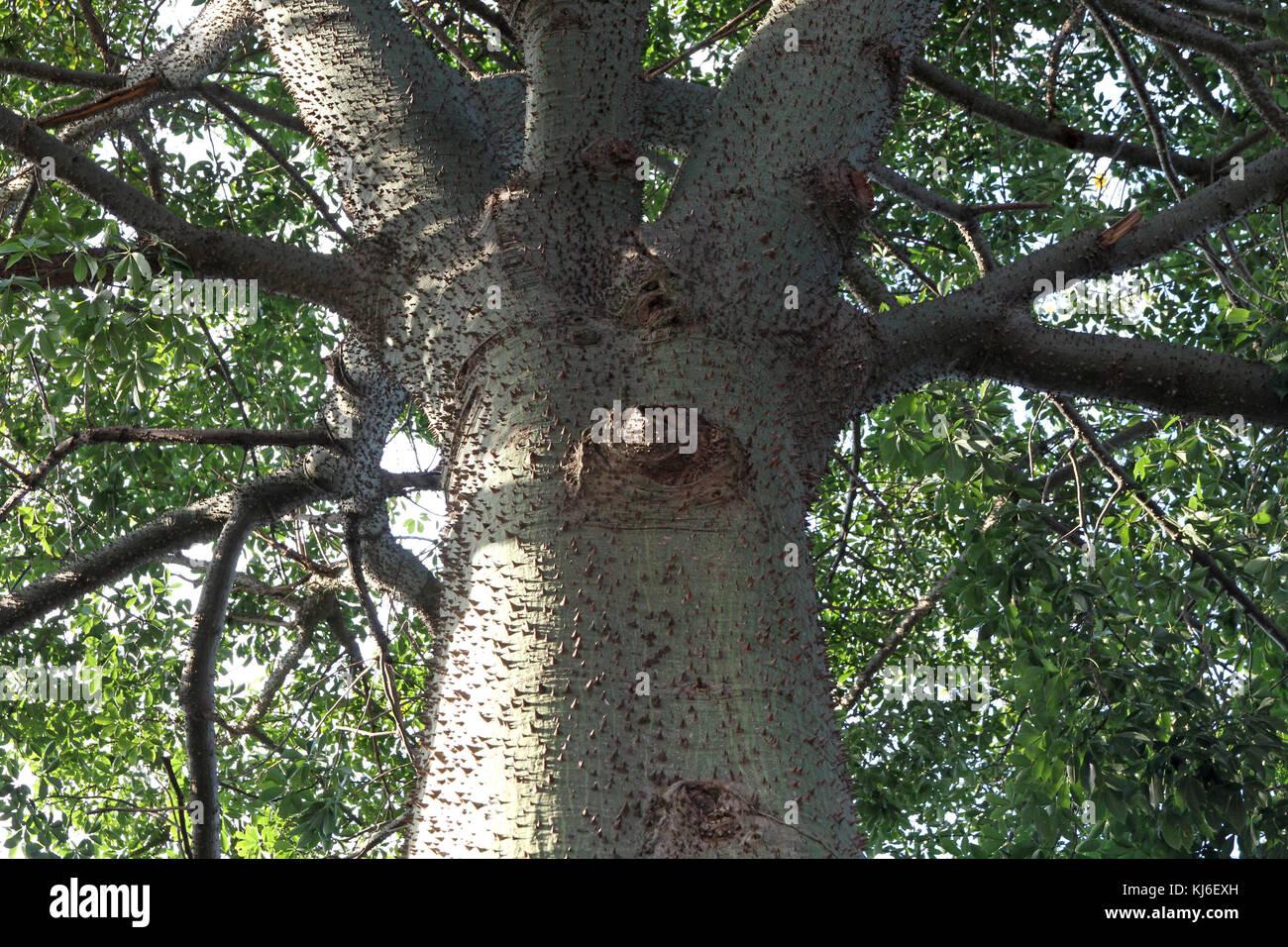 Silk Floss tree or Kapok tree, Pretoria, Gauteng, South Africa. Stock Photo