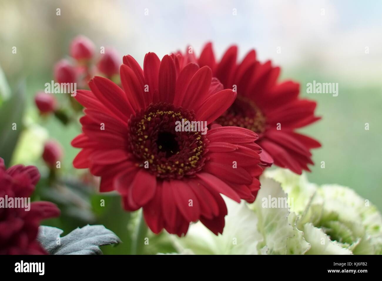 White Rose Colored Flower Gerbera Stock Photos White Rose Colored