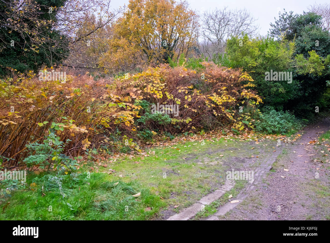Japanese Knotweed, Fallopia Japonica growing wild, dying down for winter, hastings, uk - Stock Image
