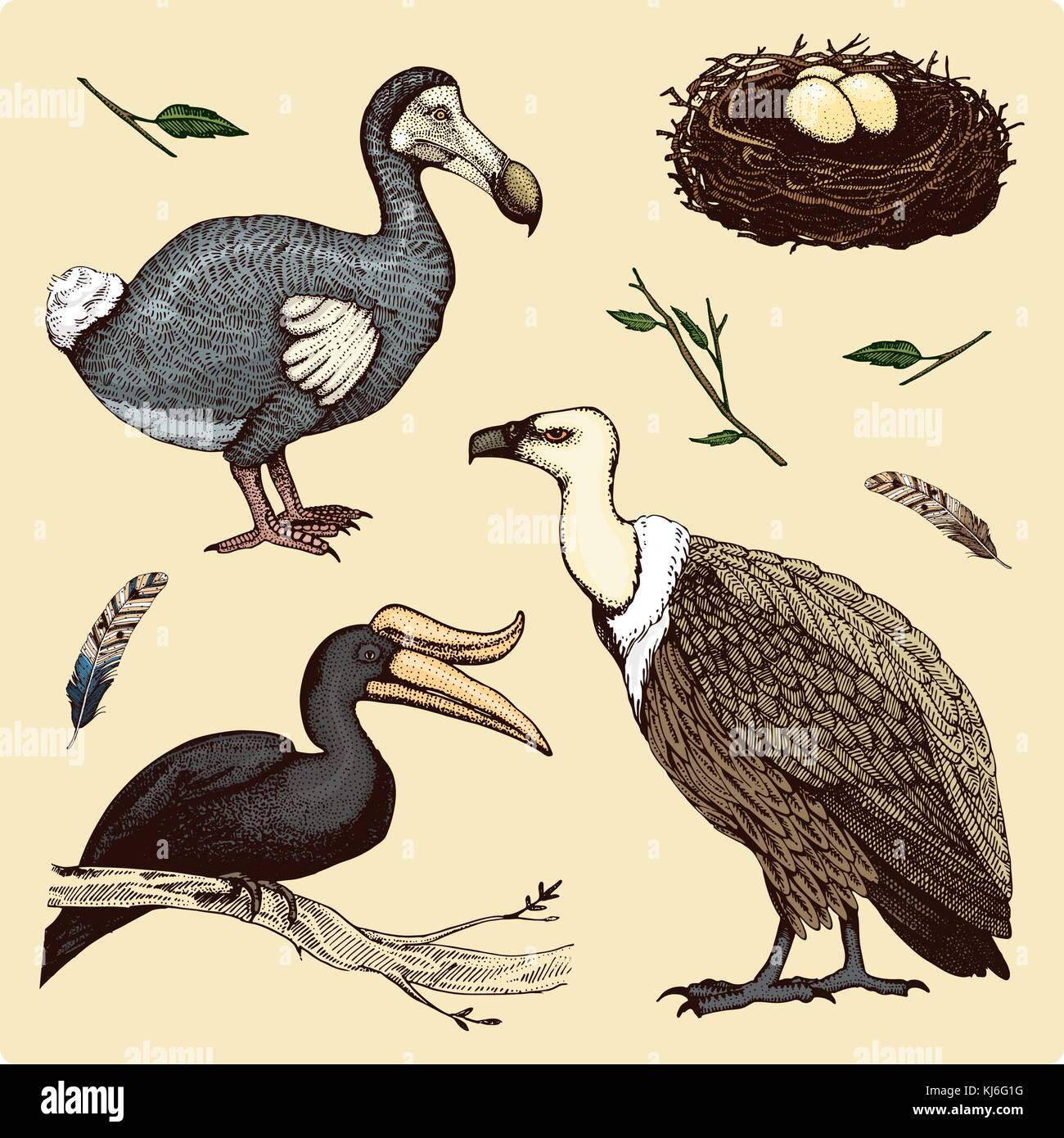 extinct species birds, griffon vultures, rhinoceros hornbill. moa, dodo and feather. engraved hand drawn in old - Stock Image
