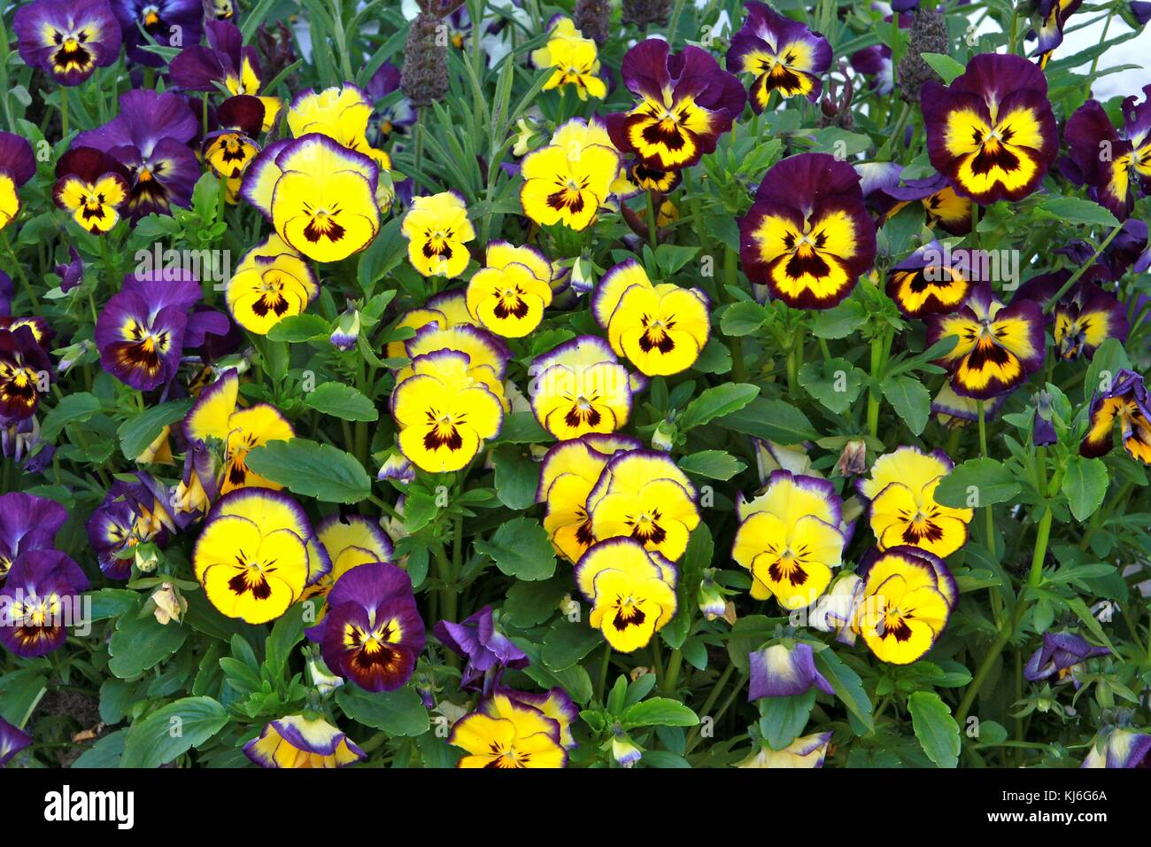 Yellow Pansy Face Stock Photos Yellow Pansy Face Stock Images Alamy