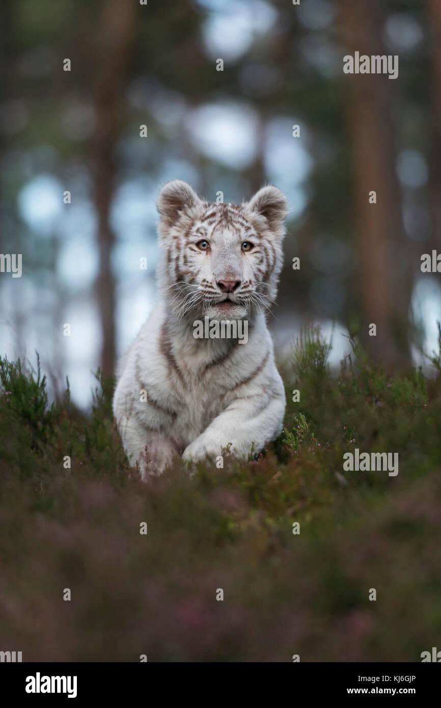 Royal Bengal Tiger / Koenigstiger ( Panthera tigris ), white animal, running fast, jumping through the undergrowth - Stock Image