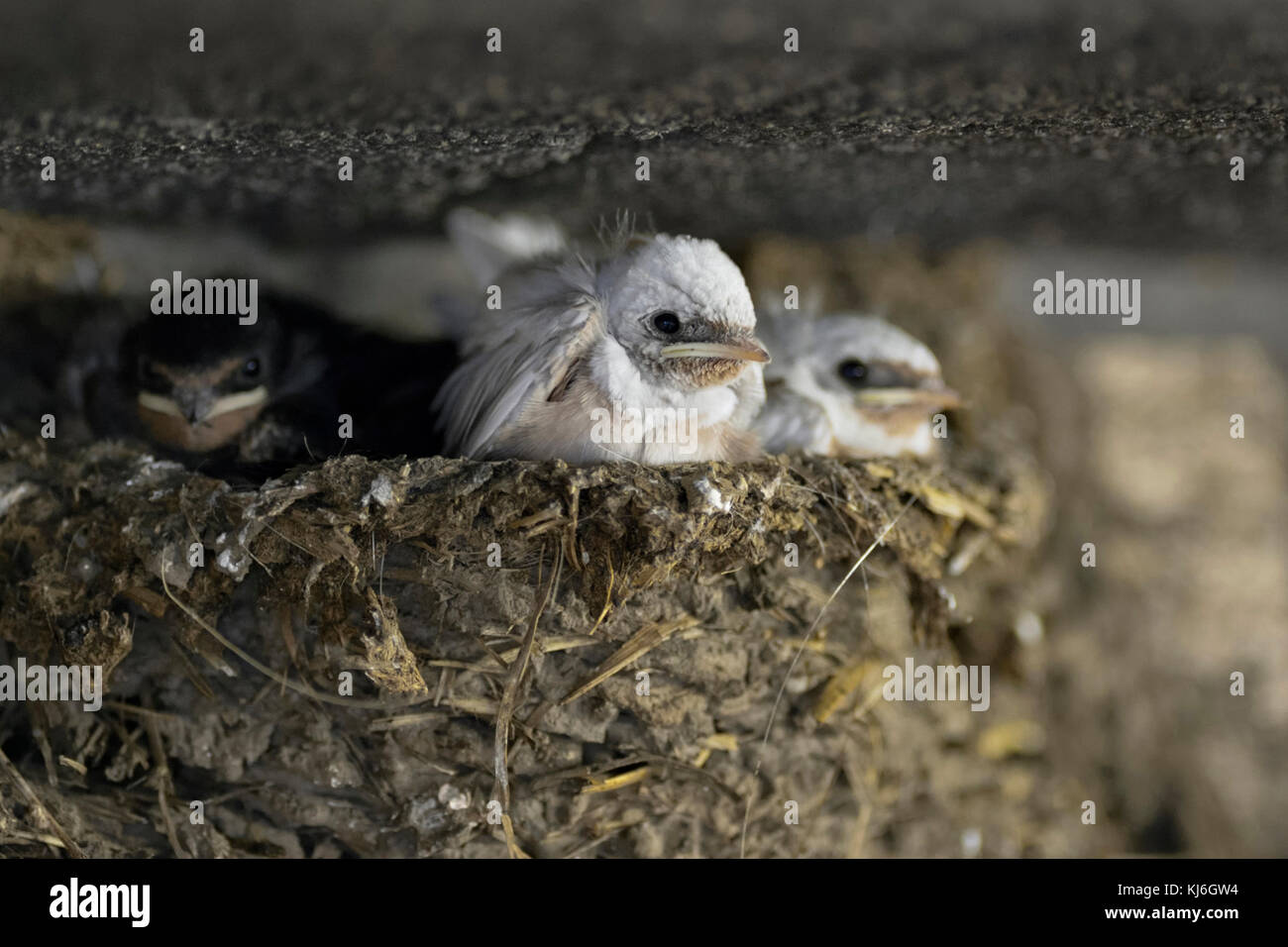 Barn Swallows / Rauchschwalben ( Hirundo rustica ), chicks in nest, two of them with a rare gene mutation, white - Stock Image